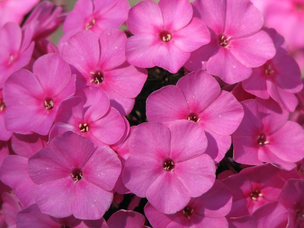 Розовые флоксы