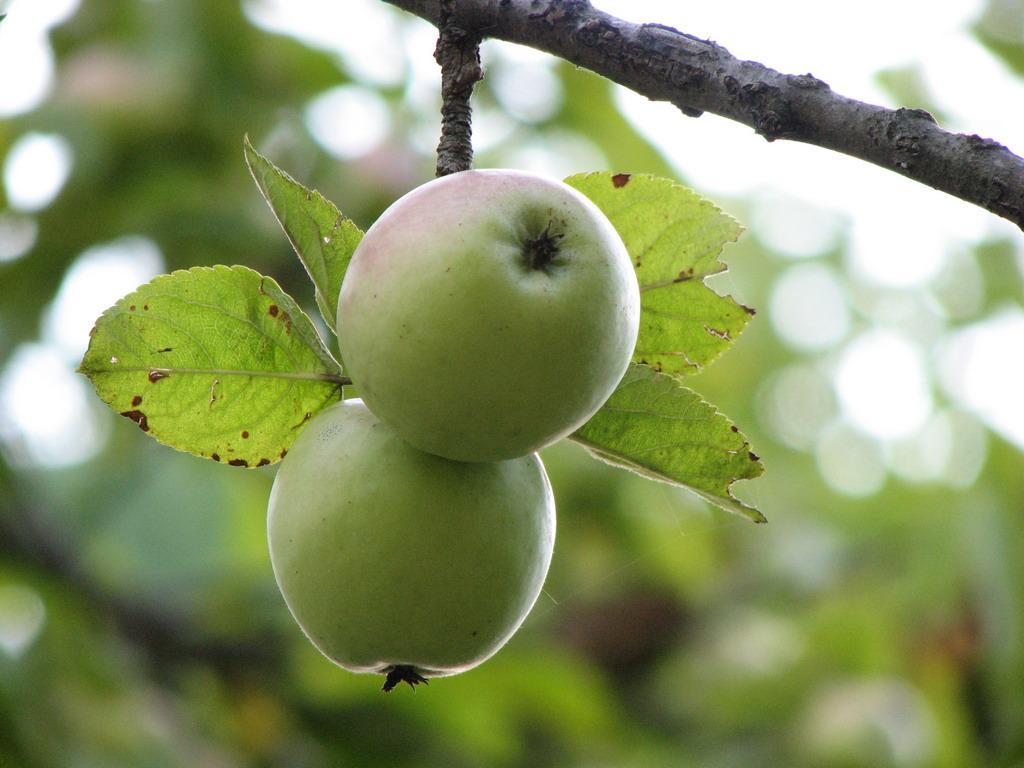 Зелёные яблочки