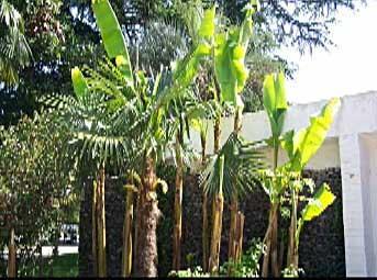 У нас и бананы растут!