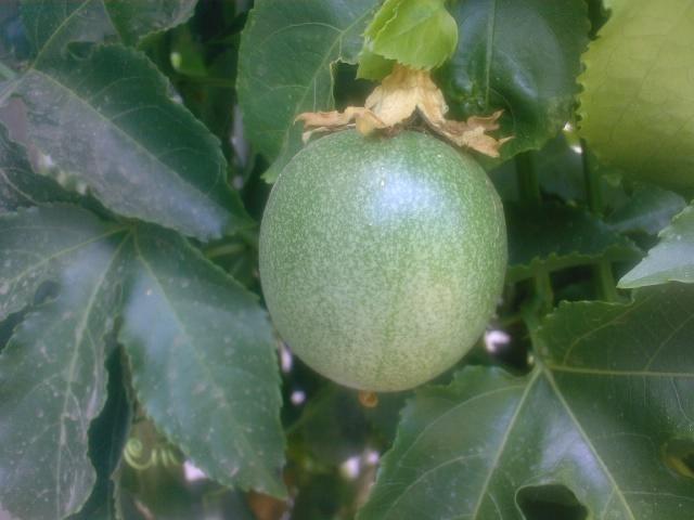 это плод пасифлоры